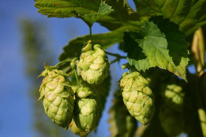 Birra artigianale Luppolo